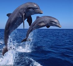 Synchronised: Dolphins show a remarkable ability to act in concert as they leap in pairs or larger groups