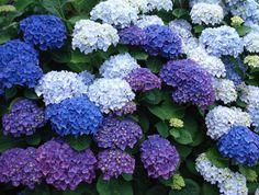 flor hortencia - Pesquisa Google