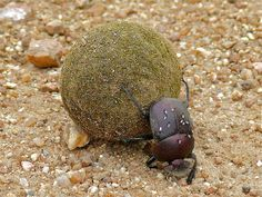 Large Copper Dung-Beetles use celestial cues to orientate along a chosen route Scarabaeus (Kheper) nigroaeneus (Coleoptera - Scarabaeidae) is a large diurnal, ball-rolling dung beetle, commonly named Large Copper Dung-Beetle, which occurs in warm to...