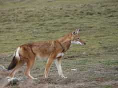 Ethiopian Wolf - Also known as the Abyssinian wolf, Abyssinian fox, red jackal, Simien fox, or Simien jackal.   They are critically endangered from loss of habitat, competition, disease from the domestic dog and overgrazing.