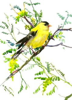 American Goldfinch -