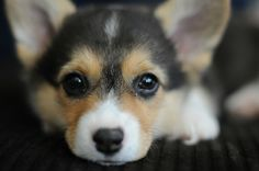 Nothing cuter than a corgi puppy face