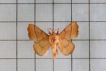 Malacosoma neustria the lackey moth