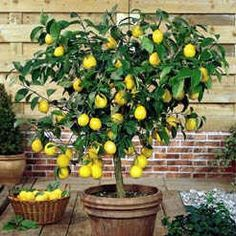 Meyer lemon tree.  We pull this indoors in late Nov. and set it back out after the last frost (and bring it out on sunny days in between)