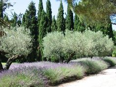 Cypress pines olive trees lavender Mediterranean french coastal garden trees landscape mediterranean garden 8 ways to create your French garden for 2020 Modern Landscaping, Backyard Landscaping, Landscaping Software, Mediterranean Garden Design, Baumgarten, Coastal Gardens, Tropical Gardens, Italian Garden, Garden Landscape Design