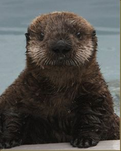 little brown otter