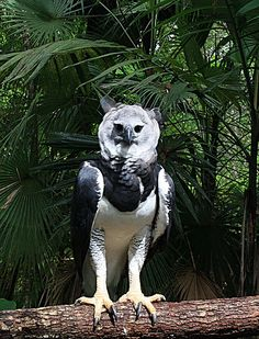 Harpy Eagle (Harpia harpyja) sometimes known as the American Harpy Eagle, is a Neotropical species of eagle. It is the largest and most powerful raptor found in the Americas, and among the largest extant species of eagles in the world. It usually inhabits tropical lowland rainforests in the upper (emergent) canopy layer. Destruction of its natural habitat has seen it vanish from many parts of its former range, and it is almost extinct in Central America.