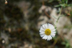 Lazy daisy, Arkansas lazy daisy, Arkansas doze-daisy (Aphanostephus skirrhobasis (DC.) Trel.) | by eyong52