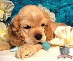 Cocker Spaniel's!! This looks just like my Bella Bella when she was a puppy!! So freaking cute!!