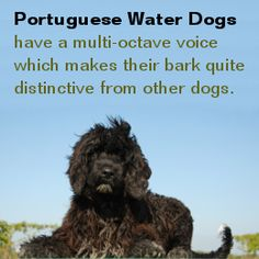 What do you know about Portuguese Water Dogs? Spanish Basics, Portuguese Water Dog, Fact Of The Day, Did You Know Facts, Dog Facts, Kinds Of Dogs, Unique Animals, Hunting Dogs, Learning Spanish