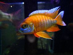 Orange Peacock Cichlid