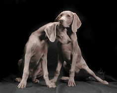 Weimaraners - They have such beautiful features.  This is a gorgeous photograph.