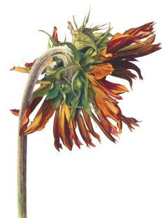 Fiona Strickland Dried Sunflower  1902758_1599015980338130_7611405049386923223_n.jpg (immagine JPEG, 723 × 960 pixel)