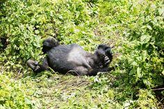 Gorilla Trekking 20