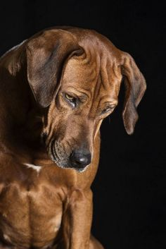 Every Man Should Have a Dog Photos) - Suburban Men - November 2015 Big Dogs, I Love Dogs, Cute Dogs, Dogs And Puppies, Doggies, Rhodesian Ridgeback, Lion Dog, Dog Cat, Sweet Dogs