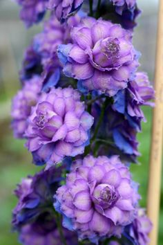 Delphinium Highlander™Series hybrid Sweet Sensation- (One of my favorite perrenials) These blue-green-tinged multi-petalled whorled flowers in deep royal mauve stand proudly upright on 40-cm stems. The stunning bud starts out dark purple. The sturdy flower spike supports some 30 florets and holds itself high where often other delphiniums fall down.