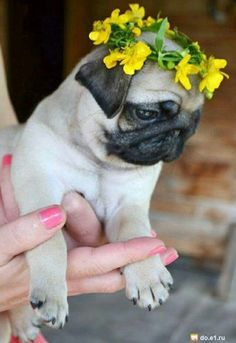 Pug with Flower Crown