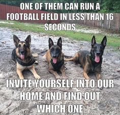 Welcome to our funny German Shepherd dog memes gallery! German Shepherd Memes, German Shepherd Puppies, German Shepherds, Funny Dog Memes, Funny Dogs, Cute Dogs, Dog Humor, Military Working Dogs, Military Dogs