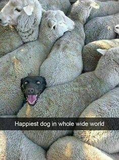 An image tagged dogs,funny dogs,sheep Funny Animal Pictures, Cute Funny Animals, Cute Baby Animals, Funny Dogs, Animals And Pets, Cute Dogs, Funny Memes, Dog Memes, Cute Animal Humor
