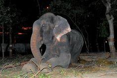 Se videoen: Elefanten Raju græd af glæde - befriet efter 50 år i fangenskab | Se videoen: Elefanten Raju græd af glæde - befriet efter 50 år i fangenskab - Udland | www.bt.dk