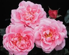 """Viking Queen Climbing rose - vigorous climber, large 5"""" flowers, Fragrant, repeat bloomer.  Possible companion on arbor with ZD?"""