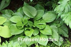 Ventricosa ………………………… Heart-shaped dark green leaves, slightly wavy,  a large Hosta that has violet flowers and grows in sun/shade. The height is 60 to 70 cm and the growth is medium.