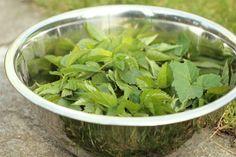 Zevenblad is eetbaar. Recept voor zevenbladpesto