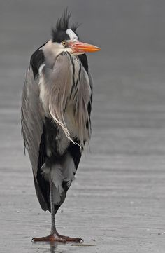 grey heron looking like an old man in a trench coat...standing alone in a parking lot.
