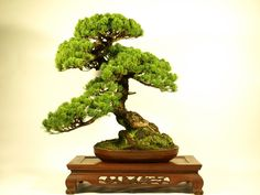 "I introduce ""Bonsai"" of over 50,000YEN."