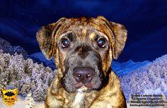 Video - cimarron uruguayo - Cerberus Illusion kennel     FB: Cerberus Illusion kennel   www.cerberusillusion.com Breeder: Gabriella Hurtos hurtos.gabriella@gmail.com   #cimarronuruguayo #cerberusillusion #cimarron #eadd #eaddchannel #cerberus #uruguayskycimarron #uruguajskycimarron #uruguayicimarron #dogsofinstagram #dog #dogs #doglovers #dogstagram #dogs_of_instagram #dogs_of_world #anakin #grandchampion #champion #thebest #thebestdog #pet #dog #hunde #guarddog #molosser #moloss #puppy Cerberus, Age, Dog Training, Videos, Illusions, Dog Lovers, Labrador Retriever, Champion, Puppies