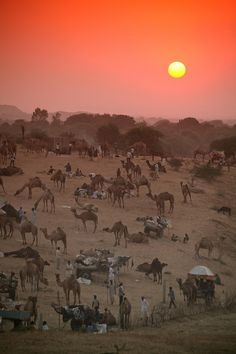 "uncommonjones: ""Pushkar sunset by Simon Bond Photographer's Note: The Pushkar camel fair apparently has 50000 camels, cattle and horses during the event. I can't say I'd argue with this statement as. Photo Souvenir, Amazing India, India Travel, Historical Sites, Photos, Pictures, Wonders Of The World, Places To See, Destinations"