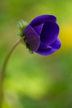 Flower Fantasies — bellasecretgarden: (via anemone Amazing Flowers, Purple Flowers, Beautiful Flowers, Simply Beautiful, Anemone Flower, My Flower, Lilies Of The Field, Love Garden, Flowers Nature