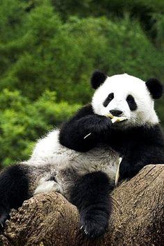 panda #pandas #pandalovers #animals