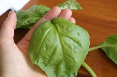 Scientifically Sweet: How to grow amazing Basil indoors