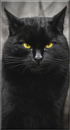 AMAZING ......................... BLACK CAT #by Gabrielius Khiterer
