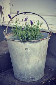 growing lavender in galvanized metal bucket
