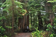 Image result for pacific forest