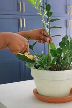 Learn how to propagate, plant, and care for the ZZ plant (Zamioculcas zamiifolia). This low maintenance, low light, simple-to-root plant is a household plant winner! Zz Plant Care, House Plant Care, Plante Zz, Plant Cuttings, Snake Plant Propagation, Household Plants, Comment Planter, Low Maintenance Plants, Free Plants
