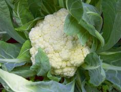 If you are looking for a home-grown crop to add great flavor and nutrition to your dinner table, then its time to grow cauliflower! Fall Vegetables To Plant, Planting Vegetables, Growing Vegetables, Veggies, Vegetable Planting Guide, Companion Planting, Organic Gardening Tips, Organic Plants, Growing Cauliflower