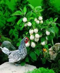 melanzana bianca -  detta anche pianta delle uova www.ortopertutti.it