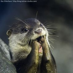 Practicing his whistle. Cute Kawaii Animals, Cute Funny Animals, Cute Dogs, Otters Cute, Baby Otters, River Otter, Sea Otter, Lovely Creatures, Sea Creatures