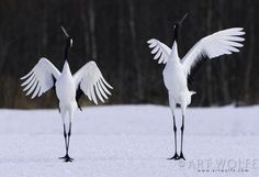 Japanese cranes photographed near Hokkaido (Japan). In Japanese: 丹頂 or タンチョウ, tancho. They are among the rarest cranes in the world.