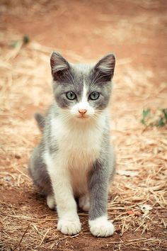 CAT FACT: The domestic cat is the only cat species able to hold its tail vertically while walking. All wild cats hold their tails horizontally or tucked between their legs while walking.