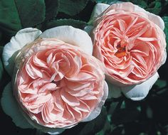 Heritage™® - David Austin® English Roses - Roses - Heirloom Roses