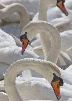Mute swans, James Boardman-Woodend