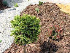 Świerk pospolity Mariae-Orffiae Garden, Flowers, Plants, Garten, Lawn And Garden, Gardens, Plant, Gardening, Royal Icing Flowers