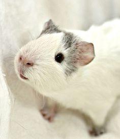 Guinea pig! <3