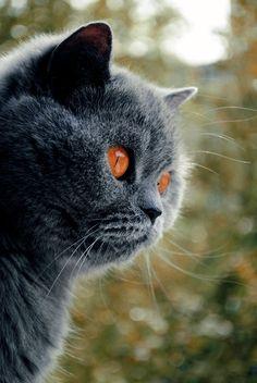 Blue Cat Autumn by *sepraven on deviantART