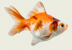 Goldfish have been human pets for 1000 or more years.