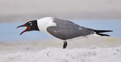 laughing gull | Laughing Gull | Photography | Pinterest
